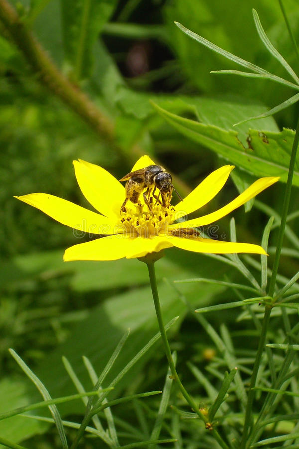 Bee on yellow wild flower collecting pollen stock photography