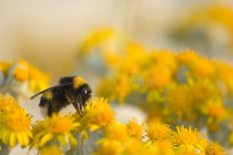 Bee1 fotografia stock libera da diritti