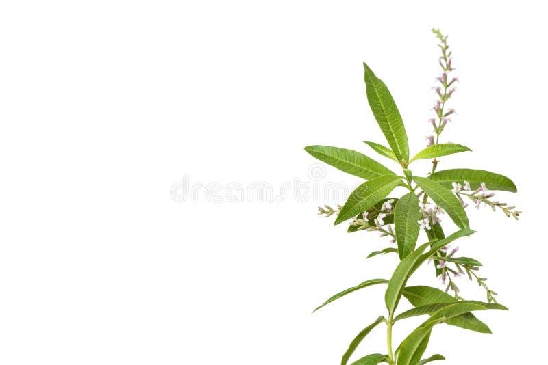 Beebrush del limón de la planta de té aislado en blanco imagenes de archivo