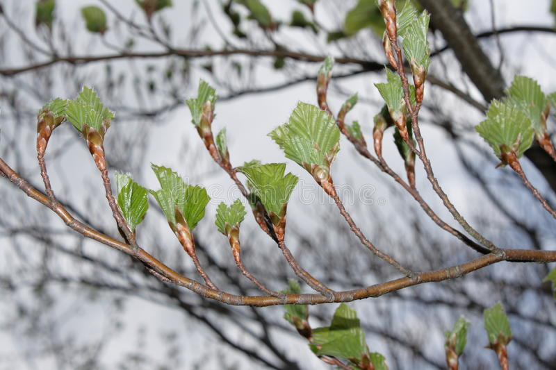 Download Beech stock photo. Image of angiosperms, nerve, limb - 19935924