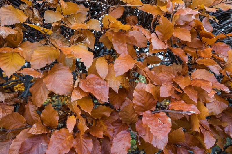 Beech Fagus sylvatica. Autumn leaves on a hedge, Fagus sylvatica royalty free stock images