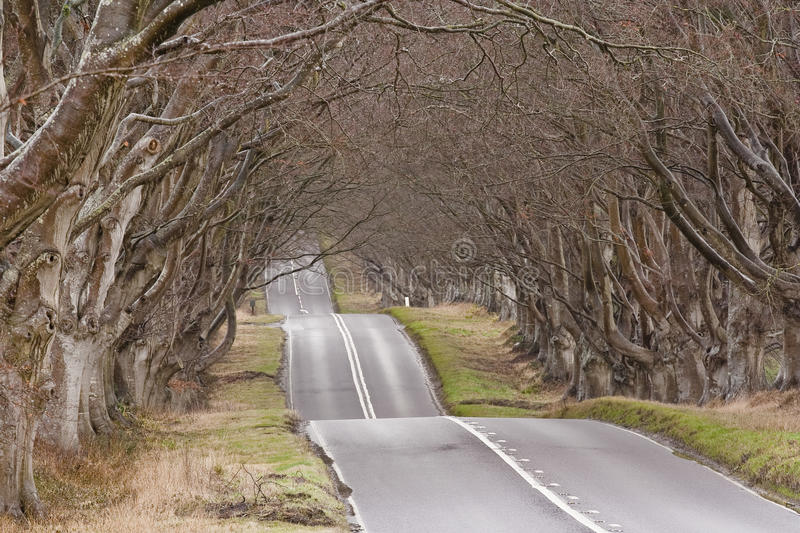 Beech avenue. The winding road through the Beech Avenue at Kingston Lacy in Dorset royalty free stock photography