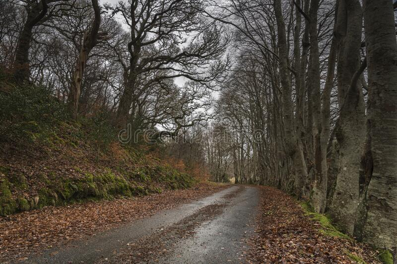 Beech Avenue royalty free stock images