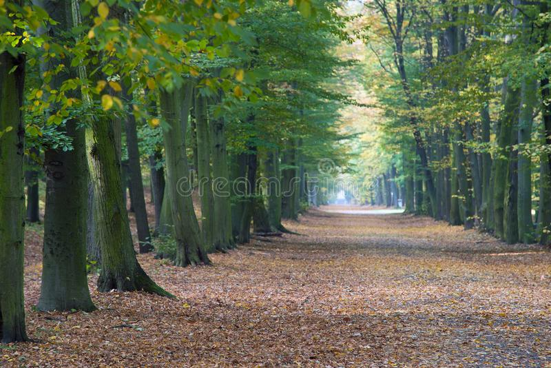Beech avenue without people royalty free stock images