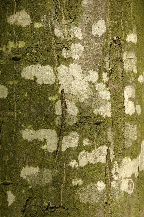 Beech bark 02. Beautifully coloured beech bark stock photography