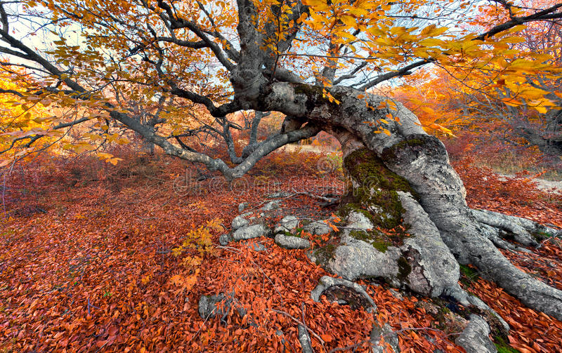 Download Beech In The Colorful Autumn Forest Stock Photo - Image: 26846562