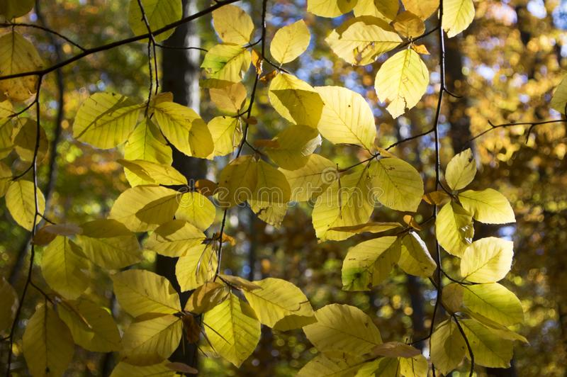 Beech deciduous forest during autumn sunny day, leaves vibrant colors on branches royalty free stock photography
