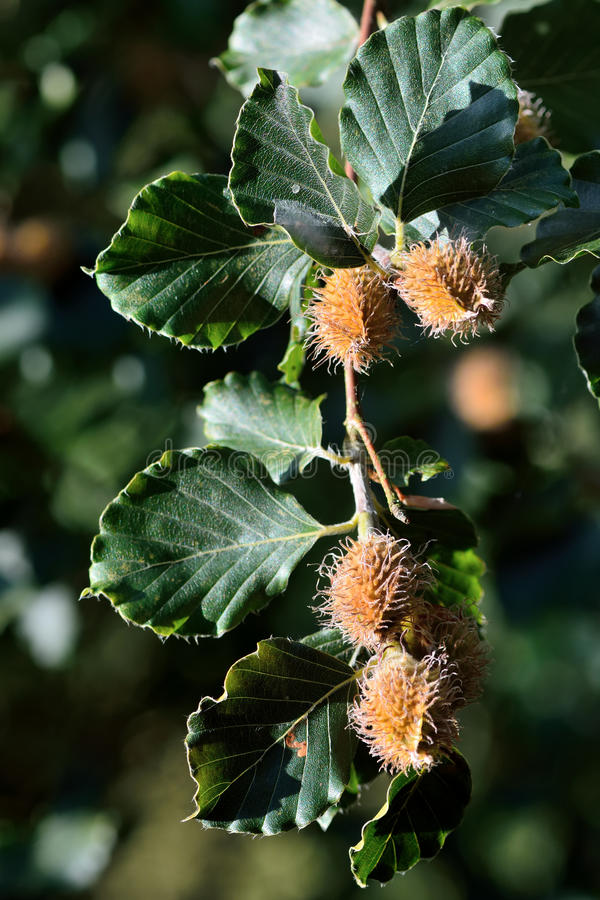 Beech (Fagus sylvatica) with nuts on branch royalty free stock photography