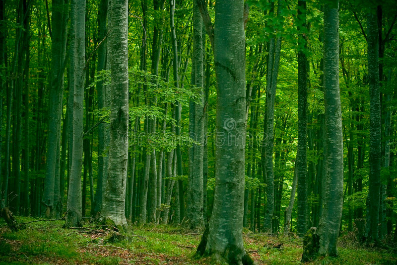 Download Beech forest stock image. Image of heaven, autumn, mystery - 1278267