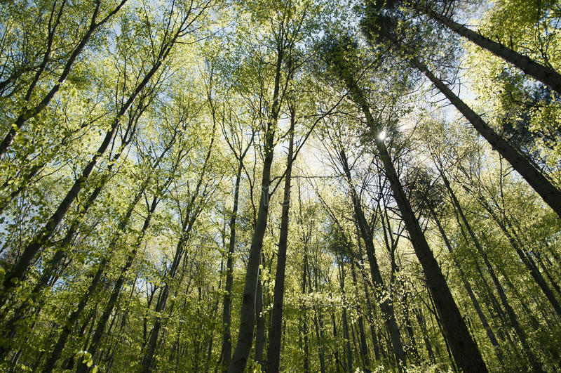Download Beech forest stock image. Image of spring, leaves, beam - 20991533