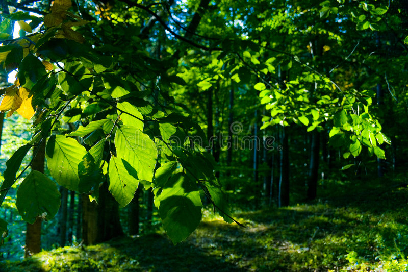 Beech Forest. On a sunny day stock image