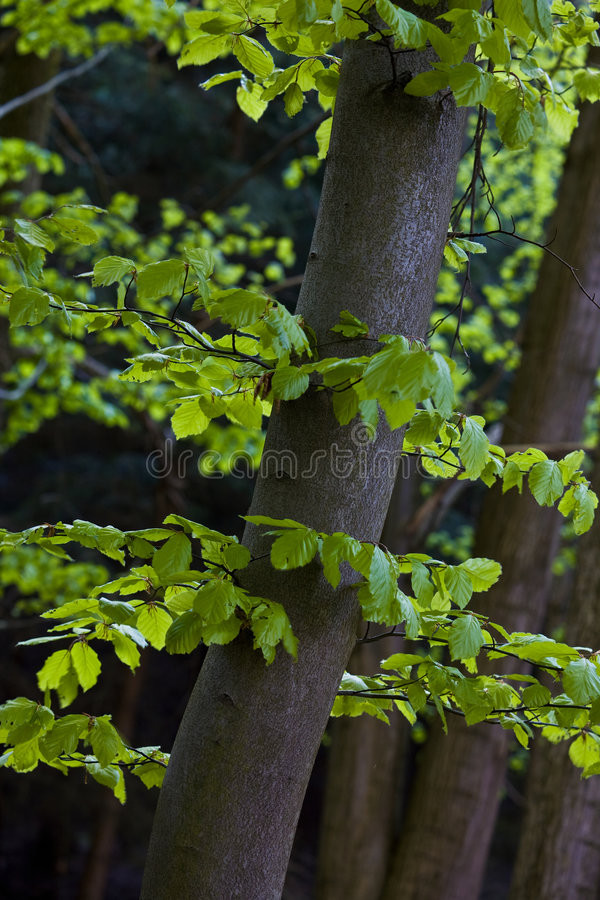Download Beech forest stock image. Image of woods, trees, vegetation - 7771215