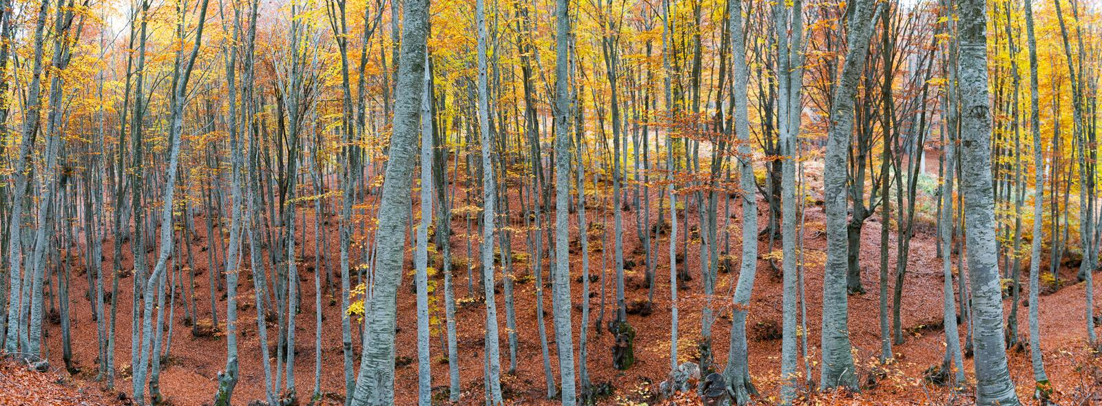 Beech forest in autumn. Colorful beech forest during autumn season stock photos
