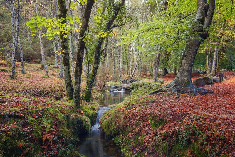 Beech forest in autumn, National Park of Peneda Geres, Portugal royalty free stock image