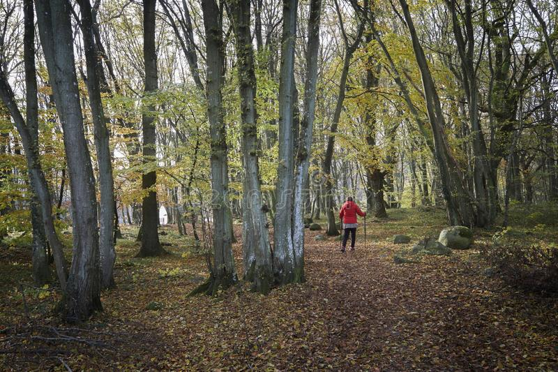 Hiking in the beech forest. royalty free stock photography