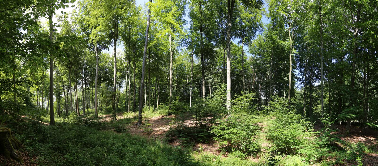 Download Beech forest panorama stock photo. Image of environment - 25413118