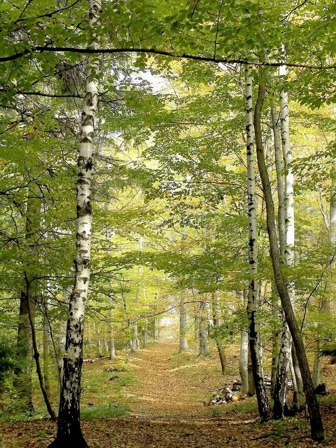 Beech forest path in autumn