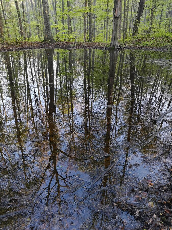 Beech forest after rain. royalty free stock photo