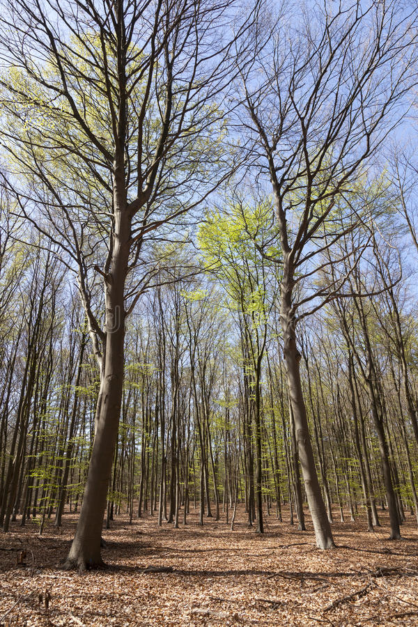 Beech forest in spring near hilversum in the netherlands on sunny day. With blue sky royalty free stock photos