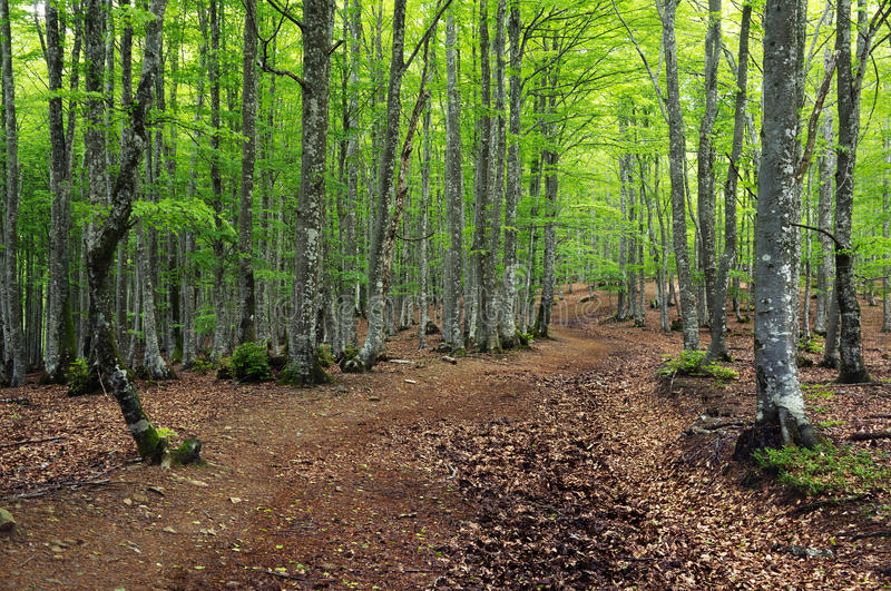 Beech forest in spring and a pathway stock image