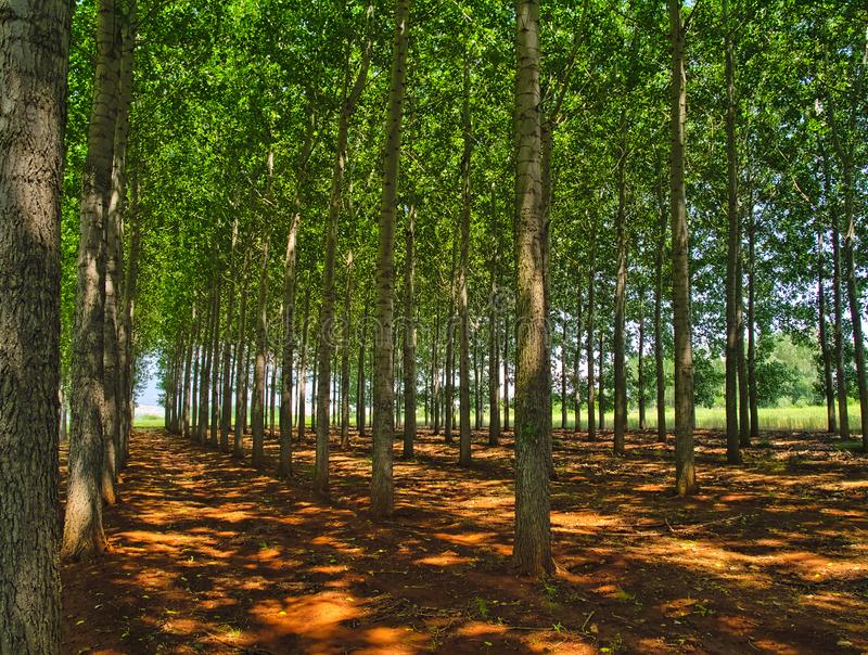 Beech grove forest farm in Northern Greece. Row of trees on brown land, light  patches on soil ground stock photo