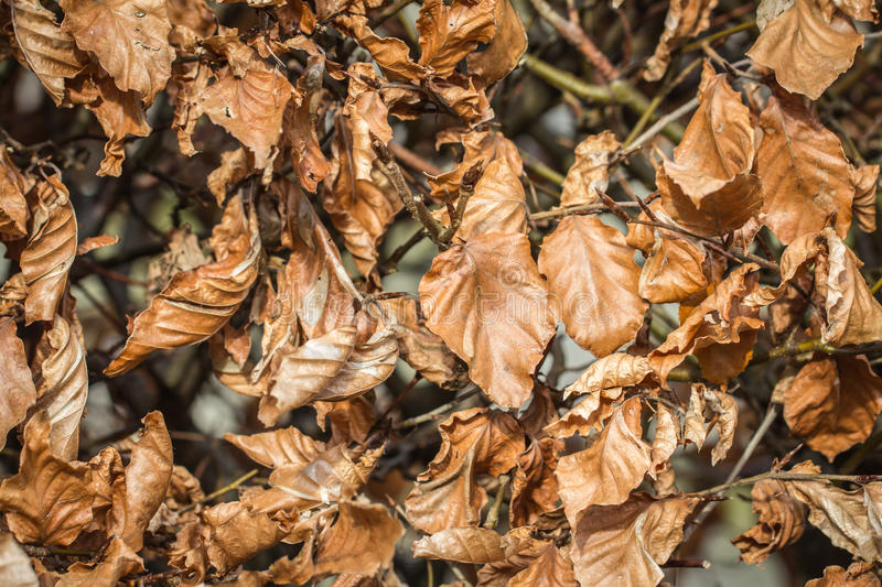Beech hedge stock images