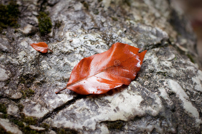 Download Beech leaf stock photo. Image of yellow, color, gold - 16407388