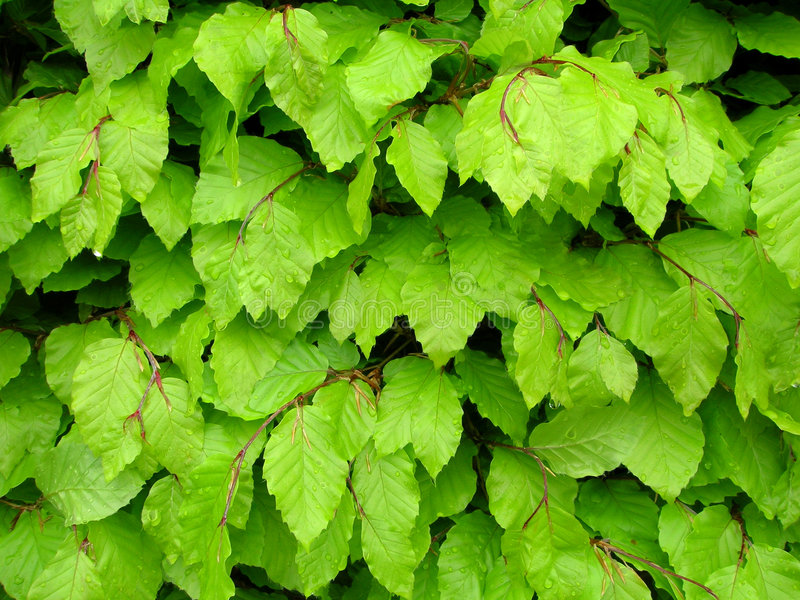 Download Beech Leafs stock photo. Image of background, garden, detail - 3215562