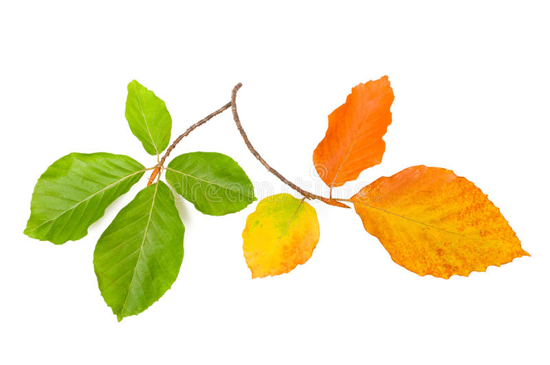 Beech leaves royalty free stock image