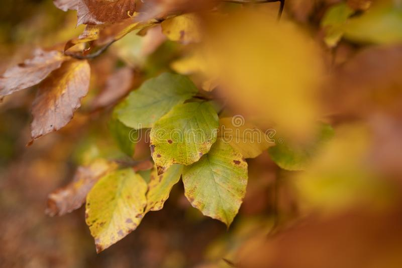 Beech leaves in autumn colors stock photography