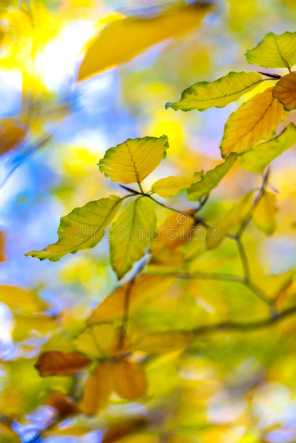Beech leaves in autumn royalty free stock photography