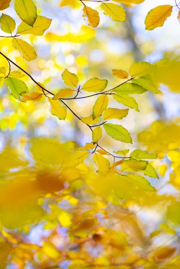 Beech leaves in autumn stock photo