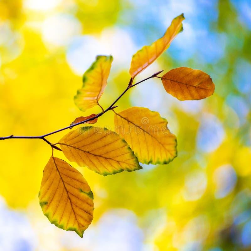 Beech leaves in autumn stock photos