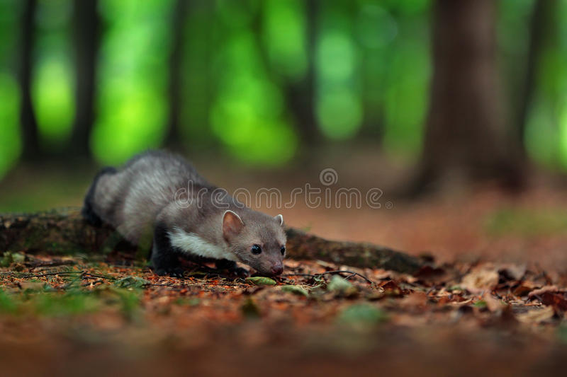 Beech marten, detail portrait of forest animal. Small predator in the nature habitat. Wildlife scene, France. Trees with marten. stock photography