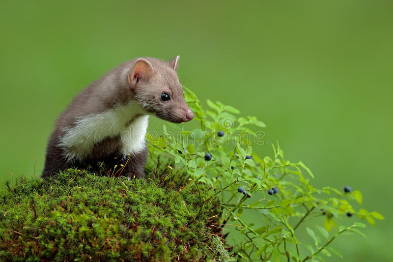 Beech marten, Martes foina, and bilberry with clear green background. Stone marten, detail portrait of forest animal. Small. Predator from forest stock photos