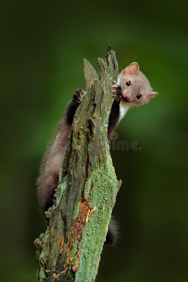 Download Beech Marten, Martes Foina, With Clear Green Background. Stone Marten, Detail Portrait Of Forest Animal. Small Predator Sitting On Stock Photo - Image: 75943294