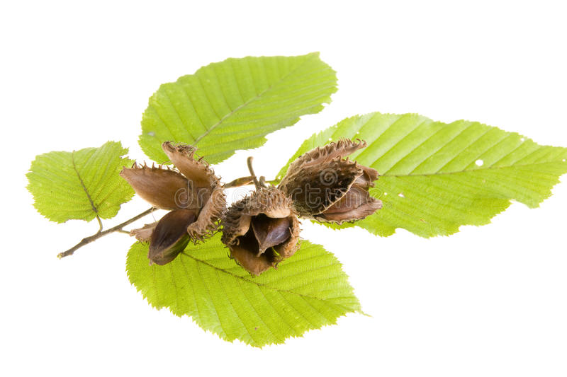 Beech nuts with leaf royalty free stock photos