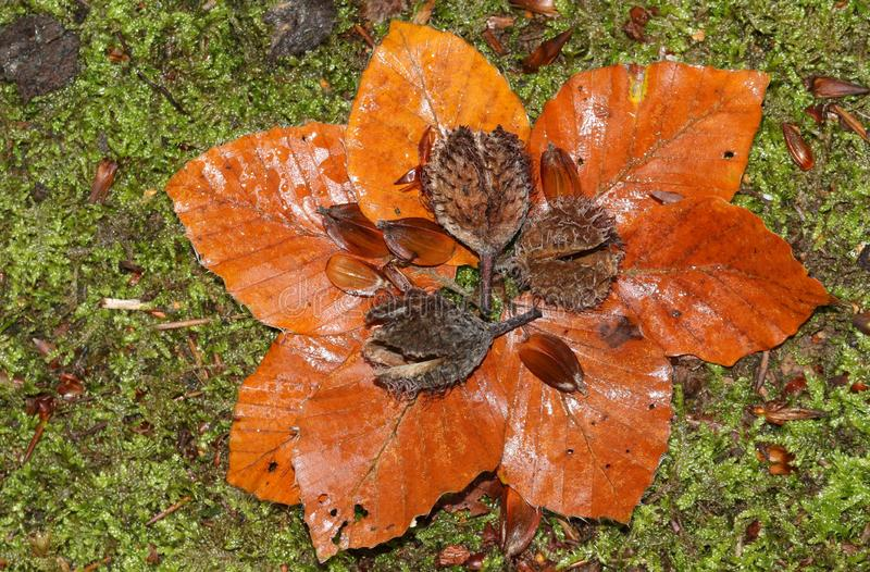 Pretty Beech nuts, seeds and leaves Fagus sylvatica lying on the mossy forest floor in Autumn. stock images