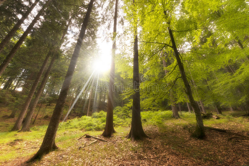 Download Beech And Pines From Bottom View Stock Image - Image: 33971315