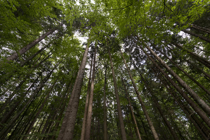 Download Beech And Pines From Bottom View Stock Photo - Image: 33971380