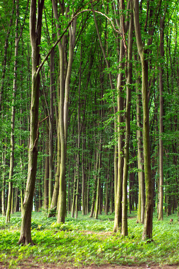 Beech tall green trees in summer forest stock images