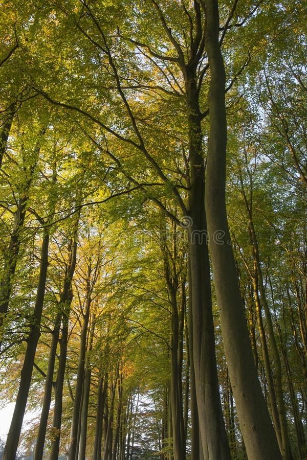 Beech tree avenue stock photos