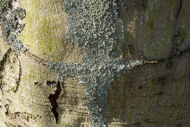 Beech tree bark with crust moss. royalty free stock photography