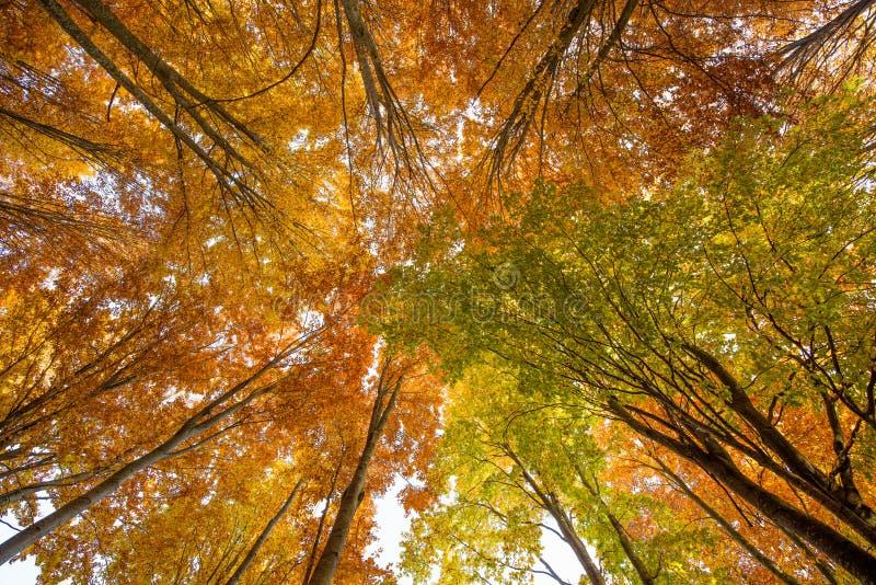 Beech tree canopy royalty free stock image
