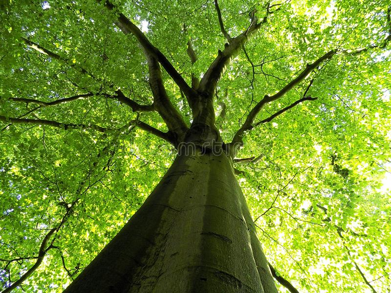 Beech tree with fresh green canopy of leaves royalty free stock photography