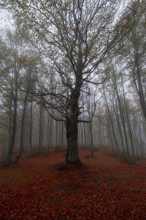 Beech tree stock image