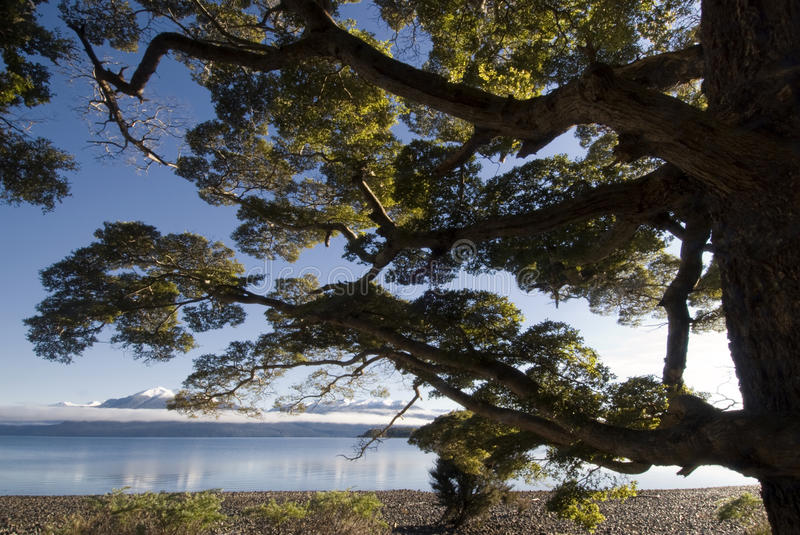 Beech tree on lake Te Anau, South Island, New Zealand stock image