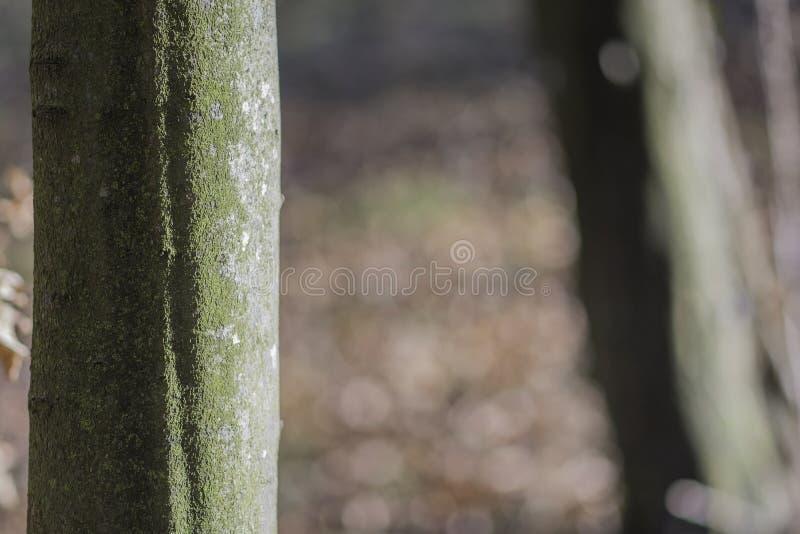 European Beech tree stock photo
