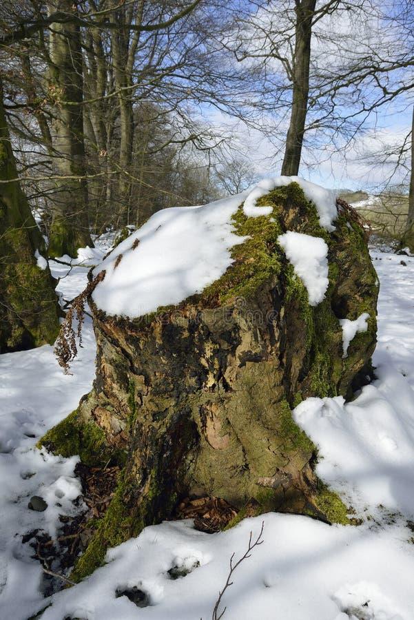 Beech Tree stump in Snow. Charterhouse, Mendip Hills royalty free stock image