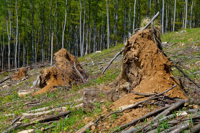 Beech tree stumps, logs and branches in a clearcut area. Big beech tee stumps, logs and branches in a clearcut area stock photo
